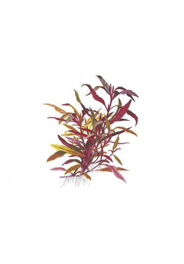 Alternanthera reineckii 'Pink' - Tropica