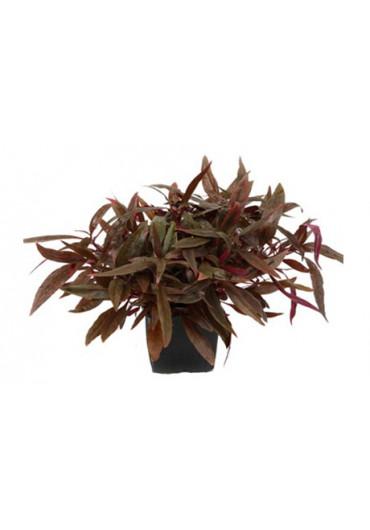 XL Alternanthera reineckii 'Pink' - Tropica