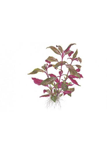 Alternanthera reineckii 'Purple' - Tropica