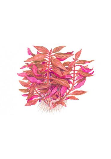 Alternanthera reineckii Rosanervig - Tropica