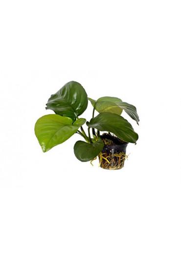Anubias barteri var. caladiifolia '1705' - Tropica