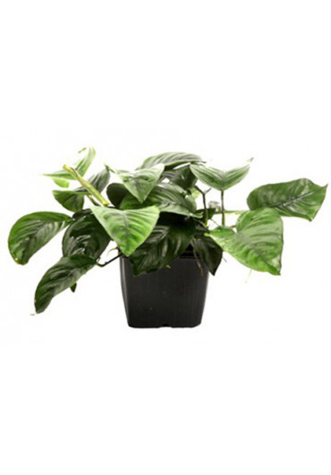 XL Anubias barteri var. caladiifolia - Tropica