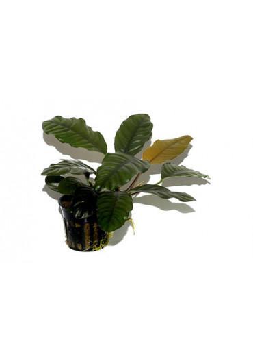 Anubias barteri 'Coffeefolia' - Tropica