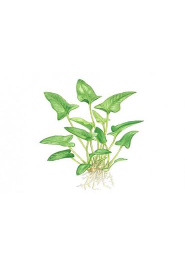 Anubias gracilis - Tropica