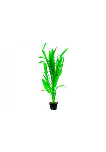 Aponogeton crispus - Tropica