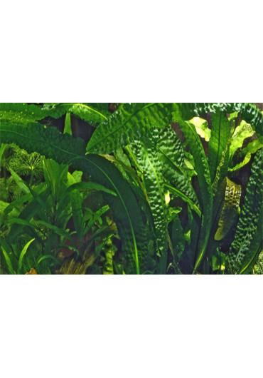 Aponogeton boivinianus - Tropica dobozos