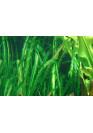 Aponogeton longiplumulosus - Tropica dobozos