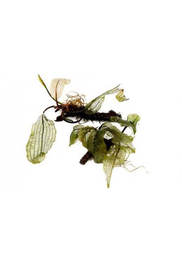 Aponogeton madagascariensis - Tropica dobozos