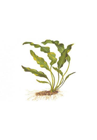 Aponogeton ulvaceus - Tropica dobozos