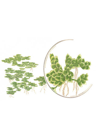 Azolla caroliniana - Tropica dobozos