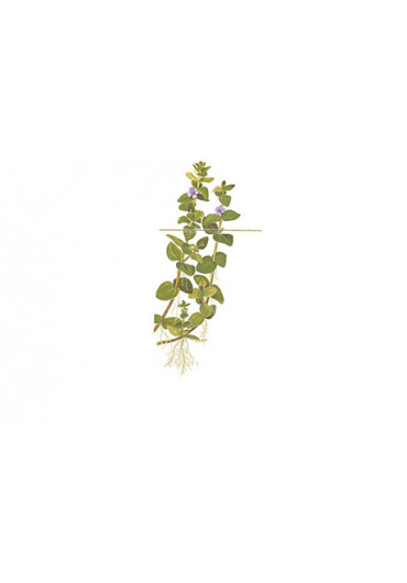 Bacopa caroliniana - Tropica steril
