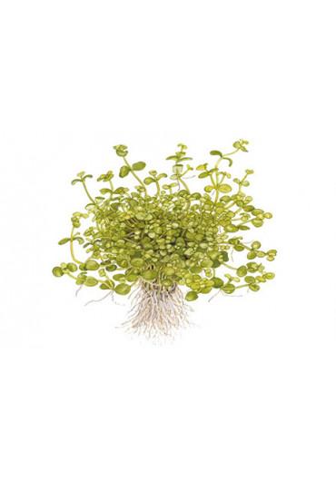 Bacopa australis - Tropica