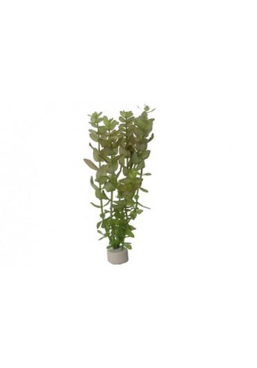 Bacopa caroliniana - Tropica