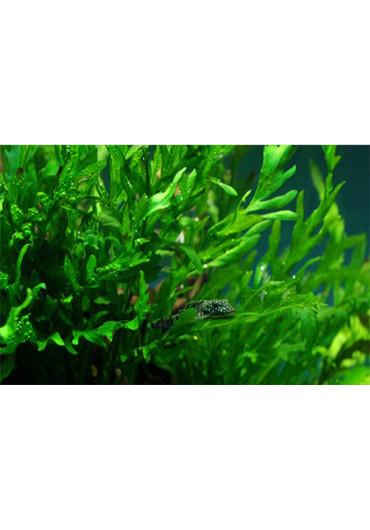 XL Bolbitis heudelotii - Tropica