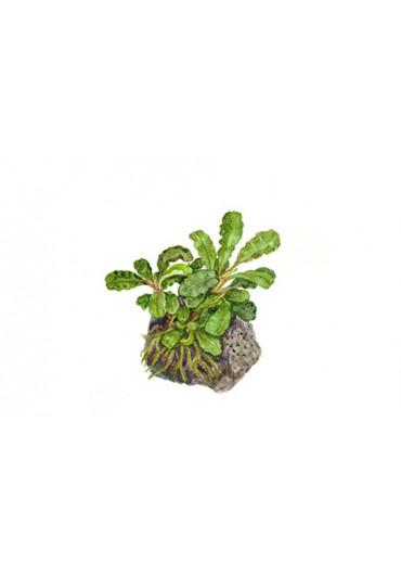 Bucephalandra 'Wavy Green' - Tropica