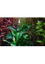 Kődekor Bucephalandra 'Wavy Green' - Tropica