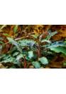 Bucephalandra 'Kedagang' - Tropica