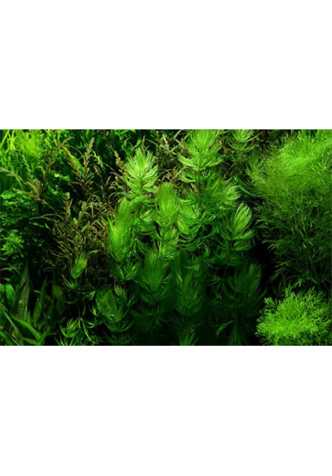 Ceratophyllum demersum 'Foxtail' - Tropica dobozos
