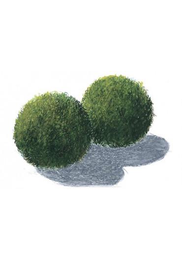 Cladophora aegagropila - Tropica dobozos