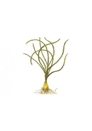 Crinum calamistratum - Tropica