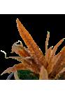 Cryptocoryne albida 'Brown' - Tropica