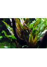 Cryptocoryne undulata 'Broad Leaves' - Tropica