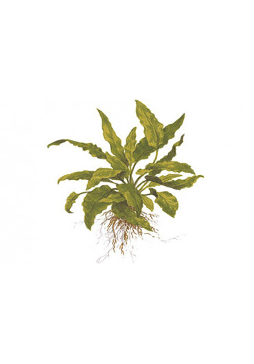 Cryptocoryne wendtii 'green' - Tropica