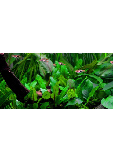 Cryptocoryne wendtii 'Green' - Tropica steril