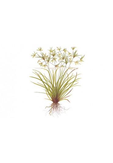 Cyperus helferi - Tropica