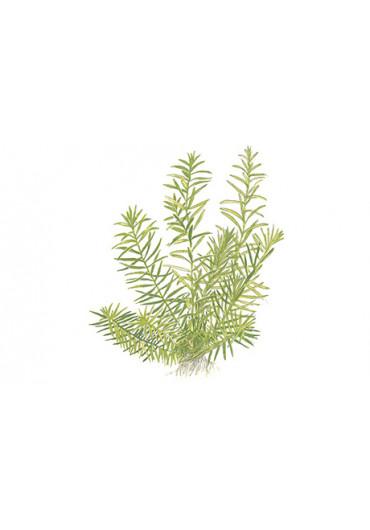 Didiplis diandra - Tropica steril