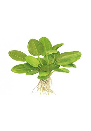 Echinodorus 'Aquartica' - Tropica