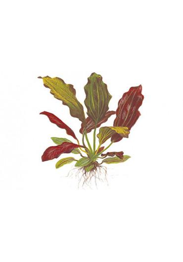 XL Echinodorus 'Barthii' - Tropica