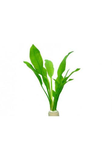 Echinodorus bleheri - Tropica