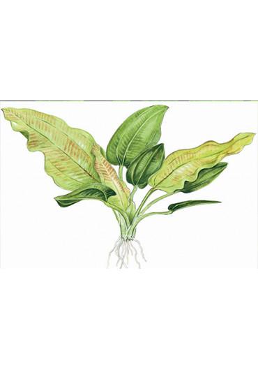 Echinodorus cordifolius 'Fluitans' - Tropica