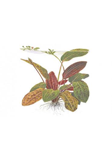 Echinodorus 'Ozelot' - Tropica
