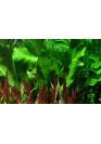 Echinodorus 'Ozelot Green' - Tropica