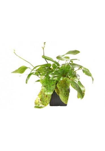 XL Echinodorus 'Ozelot Green' - Tropica