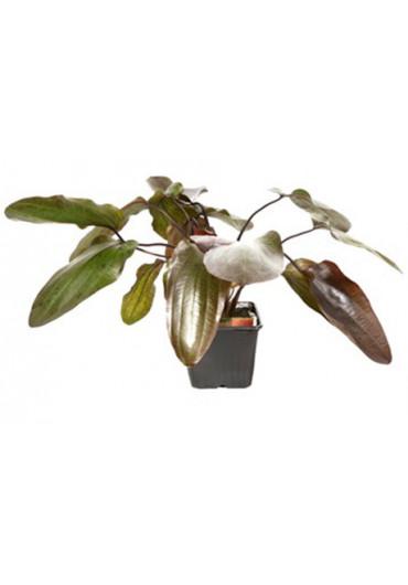 XL Echinodorus 'Ozelot' - Tropica