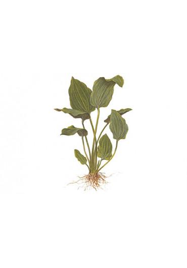 Echinodorus palaefolius - Tropica