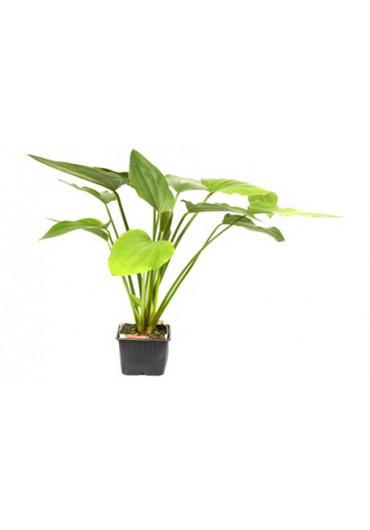 XL Echinodorus palaefolius - Tropica