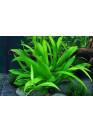 Helanthium quadricostatus - Tropica
