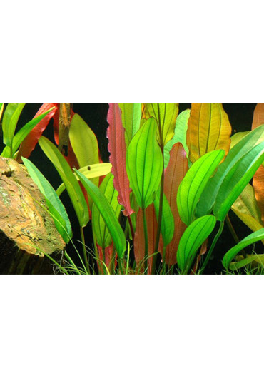 Echinodorus 'Red Diamond' - Tropica