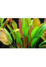 Echinodorus 'Red Diamond' - Tropica