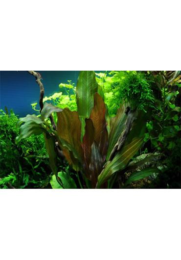 Echinodorus 'Reni' - Tropica
