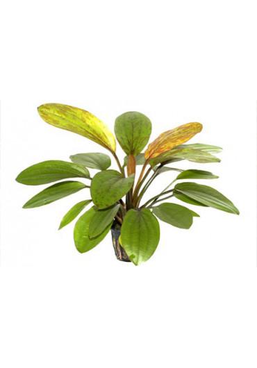 Echinodorus 'Rosé' - Tropica