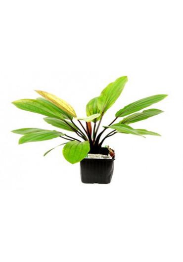 XL Echinodorus 'Rosé' - Tropica
