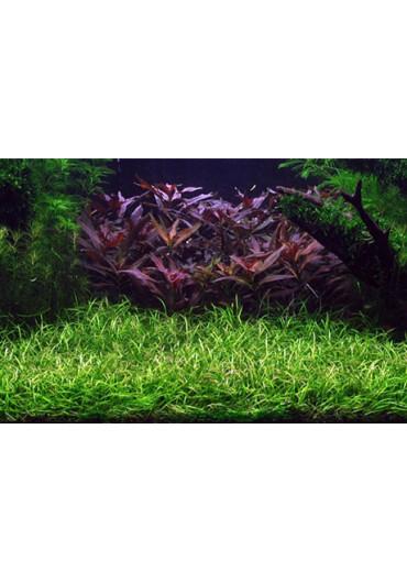 Echinodorus tenellus - Tropica