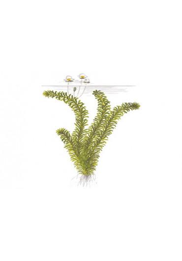 Egeria densa - Tropica