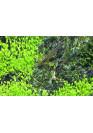 Elatine hydropiper - Tropica steril