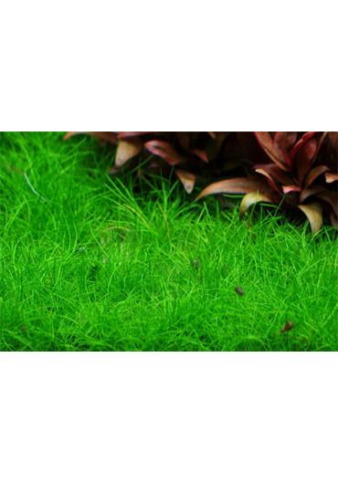 Eleocharis acicularis 'Mini' /Parvula/ - Tropica steril